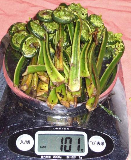 天然山菜 北信濃 【コゴミ】の予約販売始まります。(商品保障制度)クール便限定