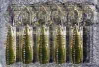礁楽ROCKY FRY 1.5inch CURLY-TAIL ウォーターメロンクリアー