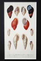博物画 「軟体動物」(貝類) 1849年 フランス