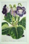 ボタニカル '雪紫グロキシニア' ベルギー 1850年