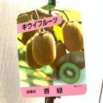 キウイ 苗木 香緑 (緑実メス) 12cmポット苗 こうりょく キウイ 苗 キウイフルーツ