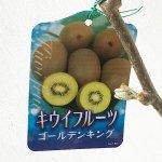 キウイ 苗木 ゴールデンキング (黄実メス) 12cmポット苗 キウイ 苗 キウイフルーツ
