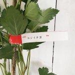 木イチゴ 苗木 構苺 12cmポット苗 かじいちご 木いちご 苗 木苺