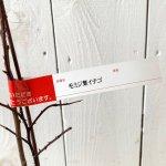 木イチゴ 苗木 もみじ葉いちご 12cmポット苗 木いちご 苗 木苺