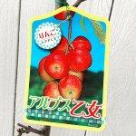 リンゴ 苗木 アルプス乙女 12cmポット苗 りんご 苗 林檎