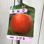 リンゴ 苗木 津軽 12cmポット苗 つがる りんご 苗 林檎