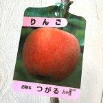 リンゴ 苗木 津軽 12cmポット苗 (ワイ性) つがる りんご 苗 林檎