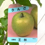 リンゴ 苗木 王林 12cmポット苗 おうりん りんご 苗 林檎