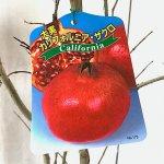 ザクロ 苗木 カリフォルニアザクロ 15cmポット苗 ざくろ 苗 柘榴