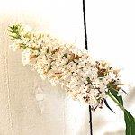ブッドレア 苗木 ホワイトプロフュージョン 13.5cmポット苗 3年生苗 ブットレア 苗