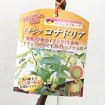 イチジク 苗木 コナドリア 13.5cmポット苗 いちじく 苗 無花果