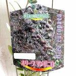 オリーブ 苗木 マンザニロ 12cmポット苗 3年生苗 オリーブ 苗 オリーブの木