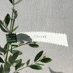 オリーブ 苗木 フラントイオ 12cmポット苗 3年生苗 オリーブ 苗 オリーブの木