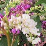 ハーデンベルギア 苗木 2色編み 18cmプラ鉢 ハーデンベルギア 苗