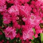 カルミア 苗木 オスボレッド 15cmプラ鉢 カルミア 苗