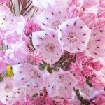 カルミア 苗木 ピンクボール 15cmプラ鉢 カルミア 苗