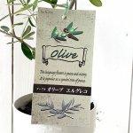 オリーブ 苗木 エルグレコ 12cm深プラ鉢 オリーブ 苗 オリーブの木