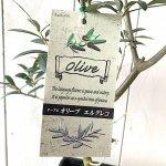 オリーブ 苗木 エルグレコ 18cmスレンダーポット苗 オリーブ 苗 オリーブの木