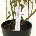 セイヨウイワナンテン 苗木 スカーレッタ 12cmロングポット苗 せいよういわなんてん 苗 西洋岩南天