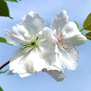 桜 苗木 太白 12cmロングポット苗 たいはく さくら 苗 サクラ