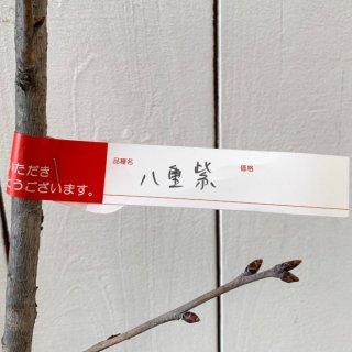 桜 苗木 八重紫 12cmロングポット苗 やえむらさき さくら 苗 サクラ