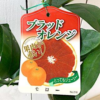 ブラッドオレンジ 苗木 モロー 15cmポット苗 オレンジ 苗