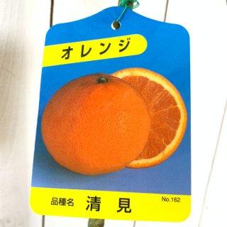オレンジ 苗木 清見オレンジ 15cmポット苗 きよみオレンジ オレンジ 苗