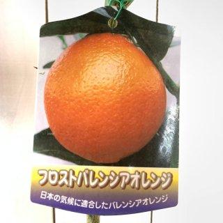 オレンジ 苗木 フロストバレンシアオレンジ 15cmポット苗 オレンジ 苗