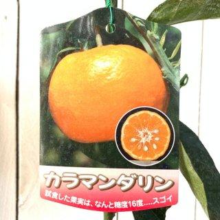 オレンジ 苗木 カラマンダリン 15cmポット苗 オレンジ 苗