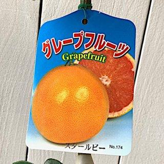 グレープフルーツ 苗木 スタールビー 15cmポット苗 グレープフルーツ 苗
