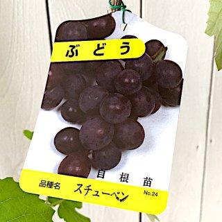 ぶどう 苗木 スチューベン 自根苗 12cmポット苗 ブドウ 苗 葡萄