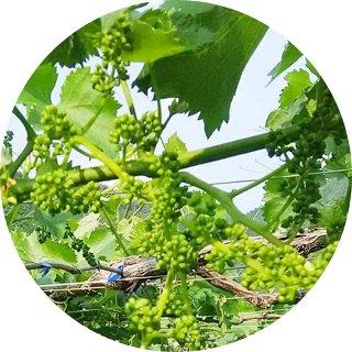 ぶどう 苗木 巨峰 接木苗 13.5cmポット苗 ブドウ 苗 葡萄