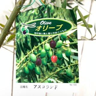 オリーブ 大苗 アスコランド オリーブ 苗 オリーブの木 シンボルツリー