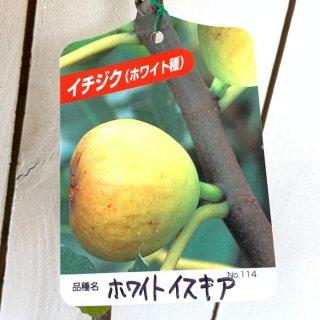 イチジク 苗木 ホワイトイスキア 13.5cmポット苗 いちじく 苗 無花果
