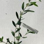 オリーブ 苗木 ネバディロブロンコ 12cmポット苗 3年生苗 オリーブ 苗 オリーブの木