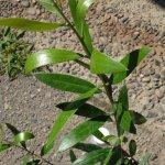 オリーブ 苗木 ピクアル 12cmポット苗 3年生苗 オリーブ 苗 オリーブの木