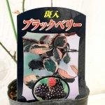 ブラックベリー 苗木 斑入りブラックベリー 9cmポット苗 2年生苗 ブラックベリー 苗