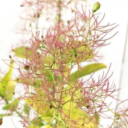 【楽天市場】スモーク ツリー 苗の通販