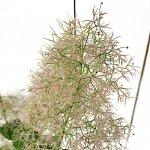 スモークツリー 苗木 ピンクボール 13.5cmポット苗 3年生苗 スモークツリー 苗