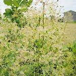 スモークツリー 苗木 ホワイトマジック 13.5cmポット苗 3年生苗 スモークツリー 苗