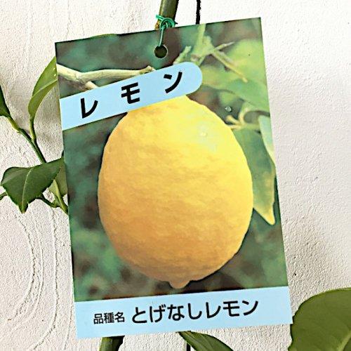 レモン 苗木 トゲなしレモン 13.5cmポット苗 れもん 苗 檸檬