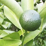 香酸柑橘 苗木 シークワーサー 13.5cmポット苗 香酸柑橘 苗