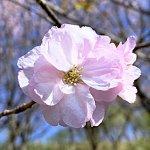 桜 苗木 一葉 12cmロングポット苗 いちよう さくら 苗 サクラ