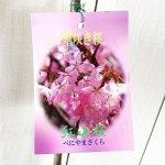 桜 苗木 紅山桜 12cmロングポット苗 さくら 苗 サクラ