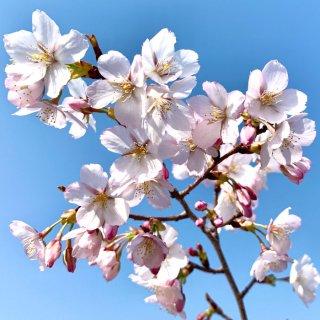 桜 苗木 静匂桜 12cmロングポット苗 しずかにおいざくら さくら 苗 サクラ
