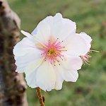 桜 苗木 四季桜 12cmロングポット苗 しきざくら さくら 苗 サクラ