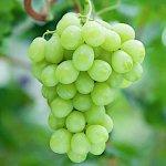 ぶどう 苗木 ロザリオビアンコ 接木苗 13.5cmポット苗 ブドウ 苗 葡萄
