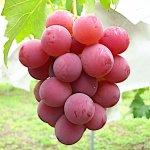ぶどう 苗木 シナノスマイル 接木苗 13.5cmポット苗 ブドウ 苗 葡萄