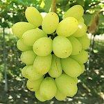 ぶどう 苗木 翠峰 接木苗 13.5cmポット苗 すいほう ブドウ 苗 葡萄