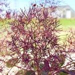 スモークツリー 苗木 ルブリフォリウス 13.5cmポット苗 3年生苗 スモークツリー 苗